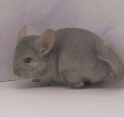 1396, Pastel / Tan Male Chinchilla