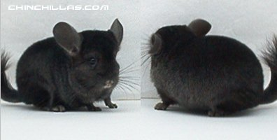 1432 Ebony (Violet Carrier) Female Chinchilla
