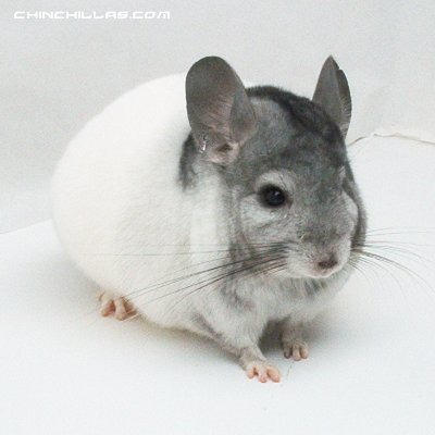 1416 Extreme SUPER White Mosaic Male Chinchilla