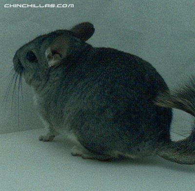 1414, Standard (Sapphire Carrier) Male Chinchilla