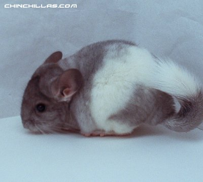 1412, Banded White Mosaic Male Chinchilla