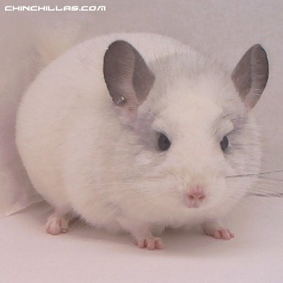 1390 White Male, Show Quality! Chinchilla