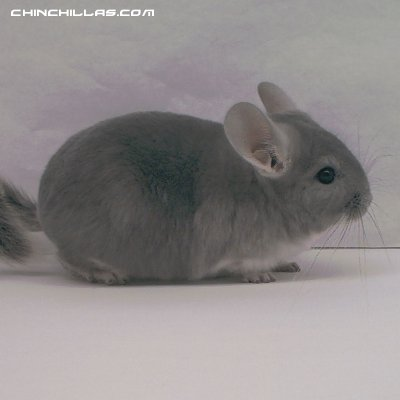 1357, Violet Male NO RESERVE / $1 Minimum Bid! Chinchilla
