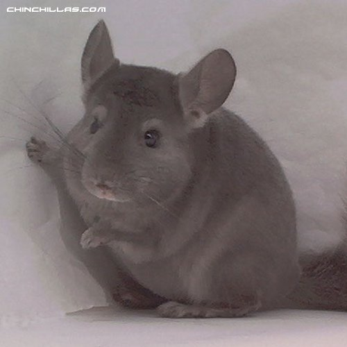 1455, Showable Wrap-Around Violet Male Chinchilla