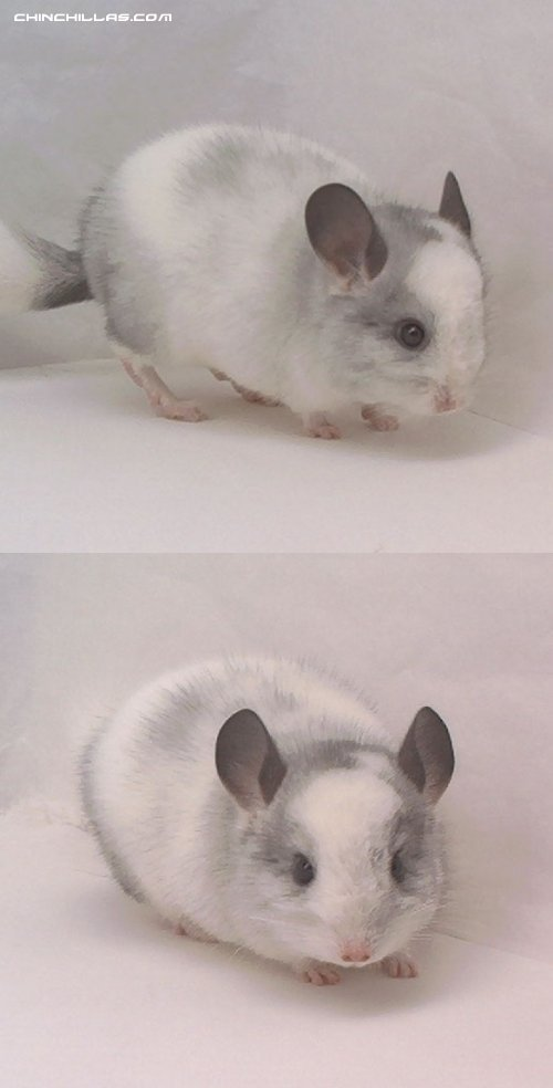 1464 Miniature Blocky and Blotchy, White Mosaic Male Chinchilla