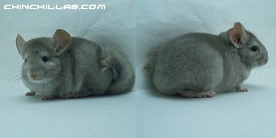 1430, No Reserve,Beige (Ebony Carrier) Female Chinchilla