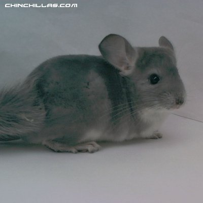 1439, Violet Female Chinchilla