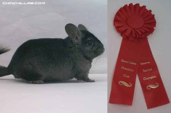 1436, Reserve Champion Hetero Ebony Male Chinchilla