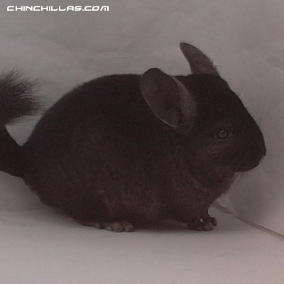 1457, Ebony Male Chinchilla