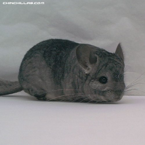 1452, Mini Hetero Ebony (Violet Carrier) Fem. Chinchilla