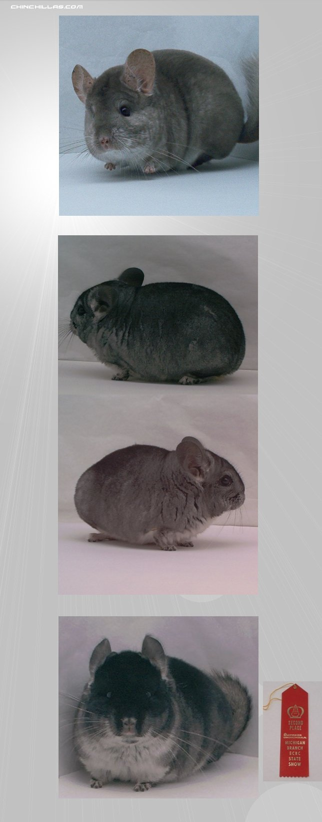 Lot 1 - 3 Show Quality Females Chinchilla