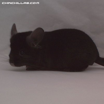 1441, Show Quality Ebony Male Chinchilla