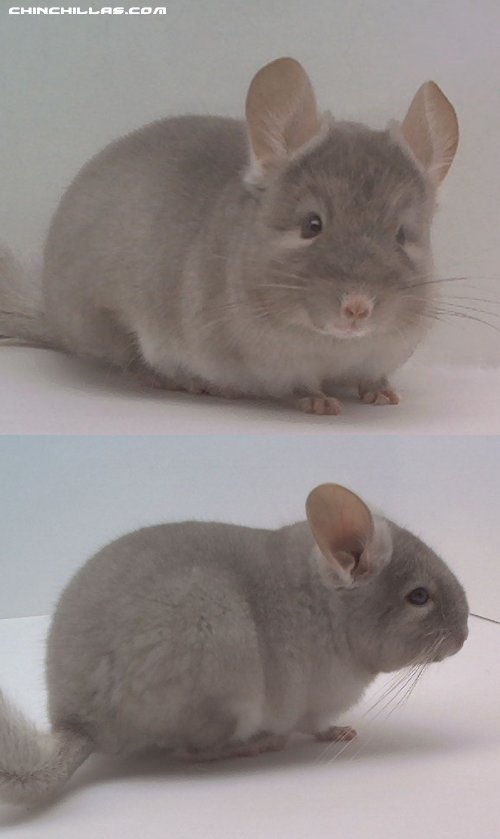 1478 TOV Beige ( Brown Velvet ) Male Chinchilla