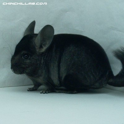1417, Showable Dark Hetero Ebony Male Chinchilla
