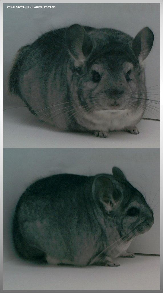 1489 Brevicaudata - type Standard Female Chinchilla