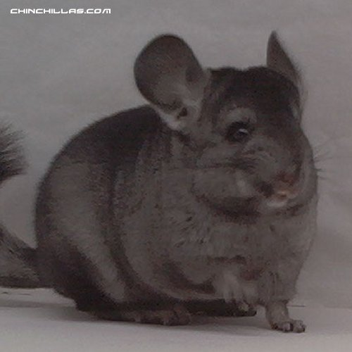 1467 Show Quality Hetero Ebony Female Chinchilla