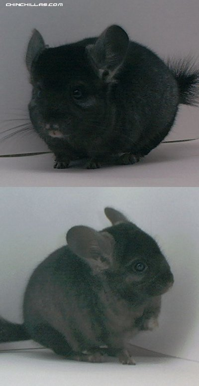 1504 Show Quality Ebony ( Violet Carrier ) Male Chinchilla