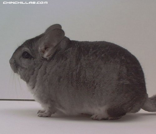1498 Standard Male Chinchilla