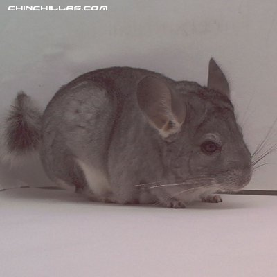 1512 Standard ( Sapphire Carrier ) Female Chinchilla