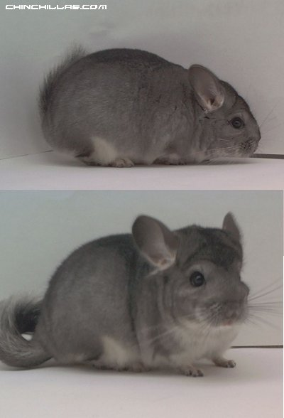 1510 Standard ( Sapphire Carrier ) Male Chinchilla