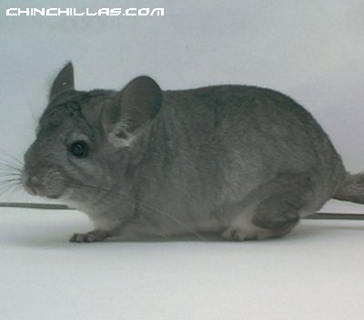 1513 Standard ( Violet Carrier ) Female Chinchilla