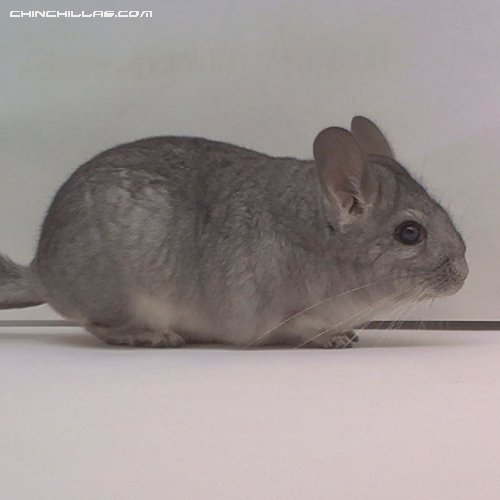 1507 Standard ( Sapphire Carrier ) Female Chinchilla