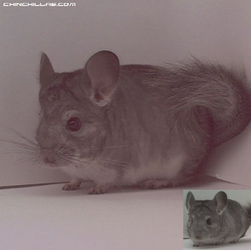 1521 Standard ( Sapphire Carrier ) Male Chinchilla
