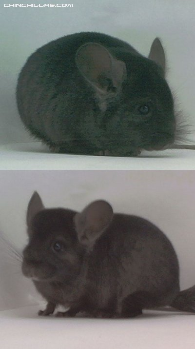 1501 Ebony ( Violet Carrier ) Male Chinchilla