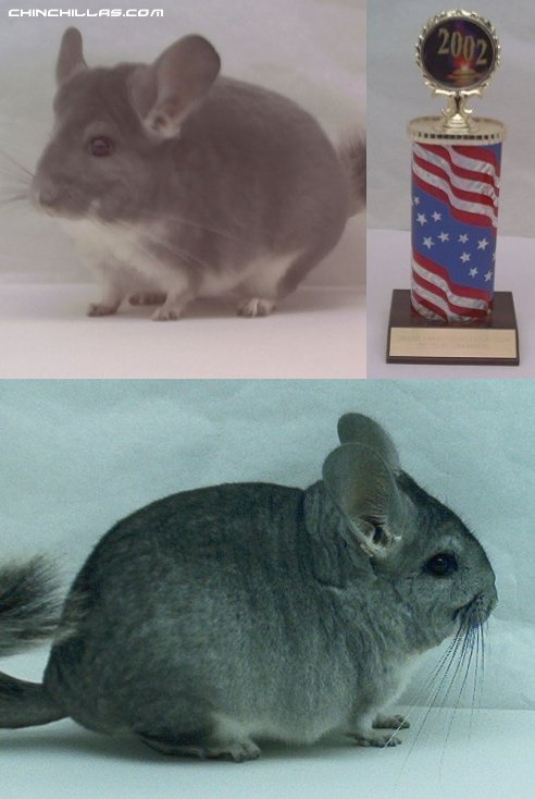 Lot 4 Champion Violet and Violet Carrier Pair Chinchilla