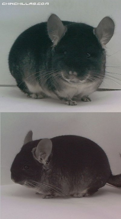 1526 MCBA National 1st Place Black Velvet Male Chinchilla
