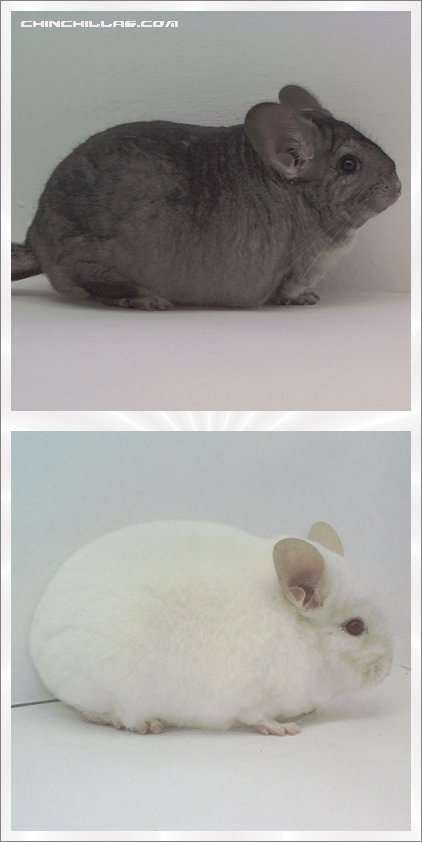 Lot 8 Show Quality Pink White and Standard Pair Chinchilla