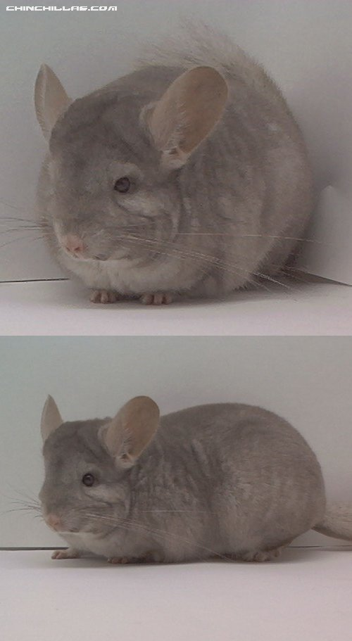 1509 Show Quality Beige (Ebony Carrier) Female Chinchilla