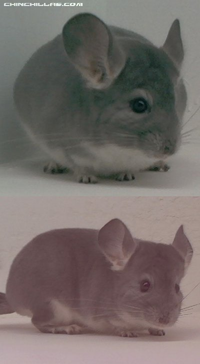 1560 Showable Violet Female Chinchilla