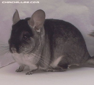1408, Black Velvet (Violet Carrier) Male Chinchilla