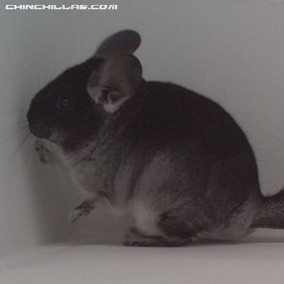 1558 Showable Black Velvet ( Ebony Carrier ) Female Chinchilla