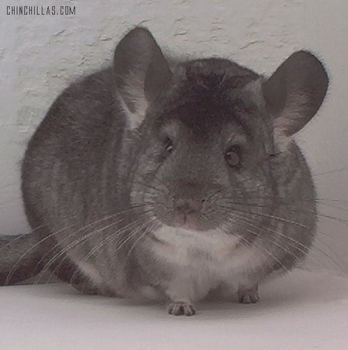 1566 Show Quality Standard Female Chinchilla