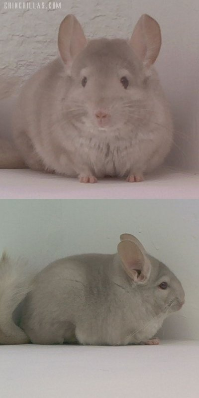 1569 Showable Homo Beige Female Chinchilla