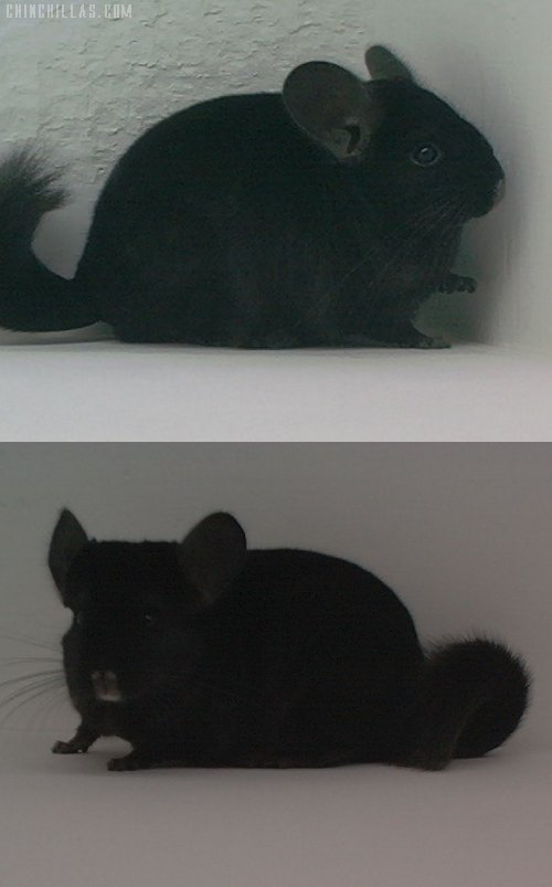 1571 Showable Ebony Male Chinchilla