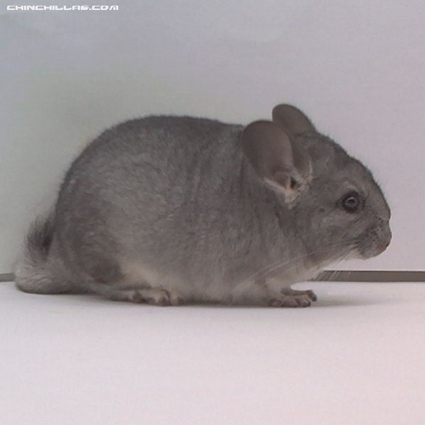 1522 Standard (Sapphire Carrier) Female Chinchilla
