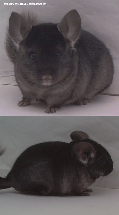 1461 Show Quality TOV Ebony Male Chinchilla
