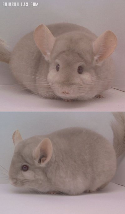 1471 Show Quality Homo Beige Male Chinchilla