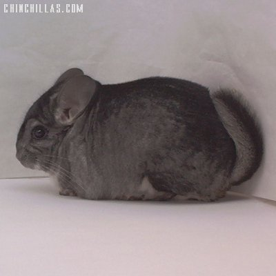 1454 Showable Standard Male Chinchilla