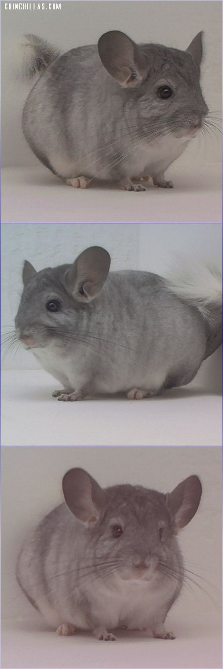 1561 Show Quality Silver Male Chinchilla
