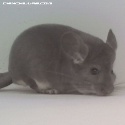 1565 Top Show Quality Violet Male Chinchilla