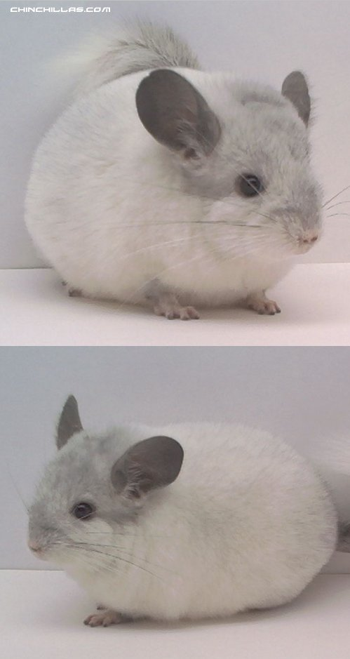 1474 Mosaic Male Chinchilla