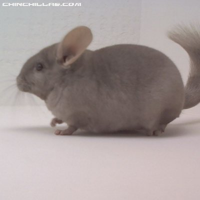 1549 Show Quality Tan Female Chinchilla