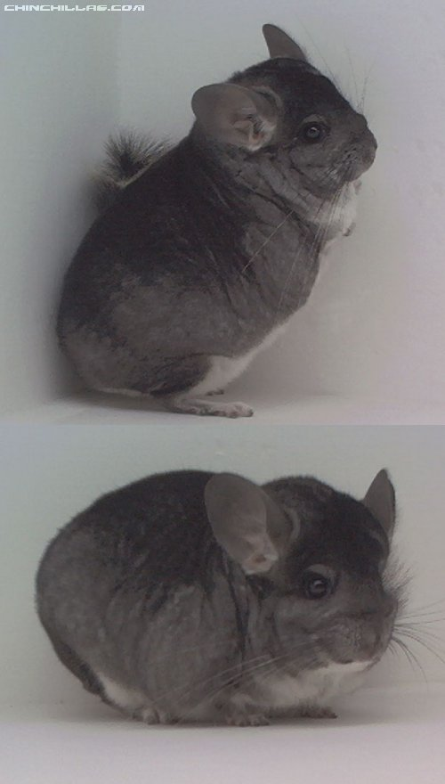 1562 Herd Improvement Standard Male Chinchilla