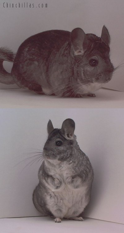 1495 Show Quality Standard Female Chinchilla