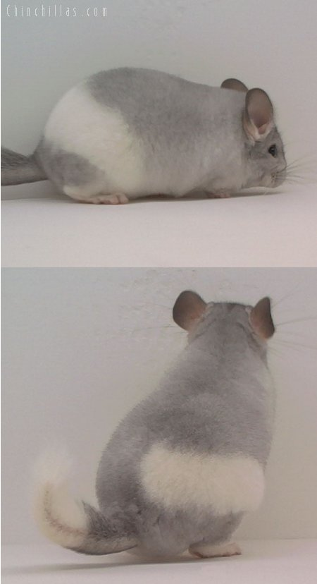 1586 Silver Mosaic Female Chinchilla
