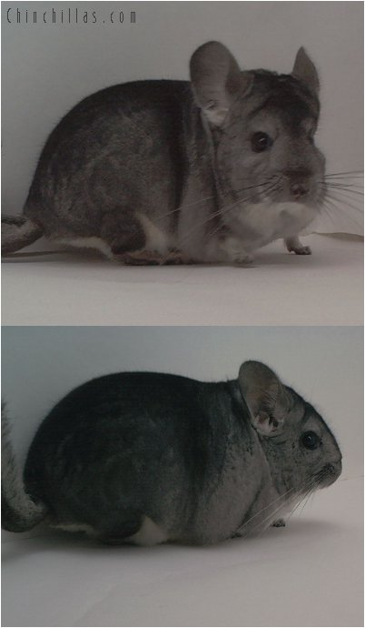 1499 Show Quality Standard Male Chinchilla